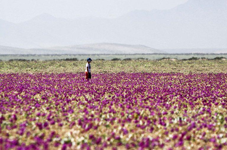 Sernatur Atacama refuerza llamado a cuidar el desierto florido y conocer los atractivos regionales