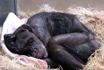(VIDEO)Chimpancé moribunda de 59 años se negaba a comer… Hasta que reconoció la voz de su antiguo cuidador