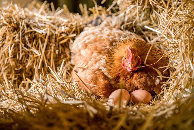Nestlé se comprometió a que en 2025 sólo usará huevos de gallinas libres de jaulas