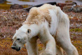 La desgarradora historia del oso polar que conmociona al mundo