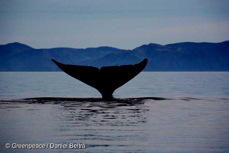 Greenpeace Chile hace grave denuncia: Buques salmoneros estarían vertiendo agua contaminada con Marea Roja en el área el Golfo el Corcovado hábitat de las ballenas azules