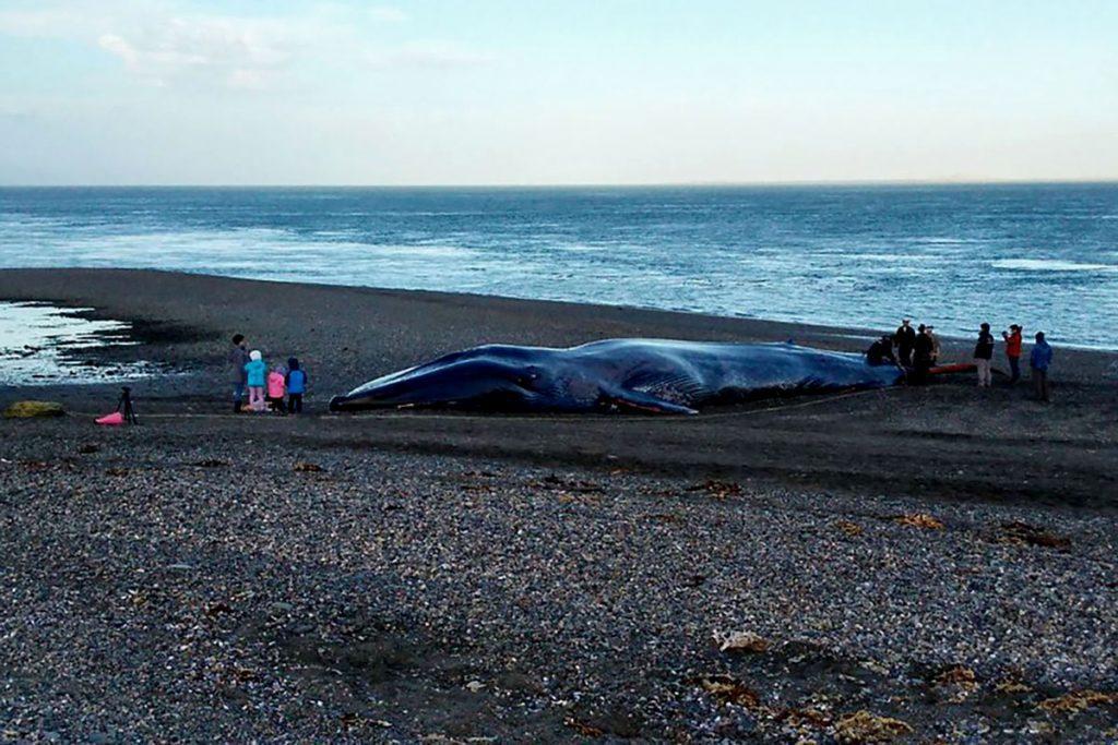 """Greenpeace Chile califica como """"acto insensible y repudiable"""" rayados que se le hicieron a ballena azul varada en Punta Arenas"""