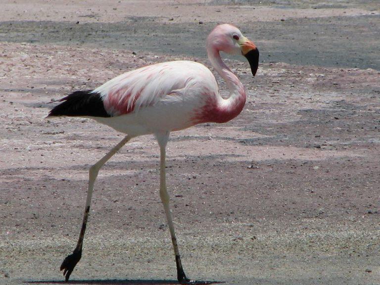 CONAF y Zoológico Nacional monitorean a los flamencos del Salar de Surire