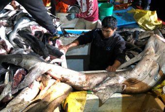 Armada capturó dos embarcaciones peruanas en aguas chilenas con cerca de 5 toneladas de tiburón