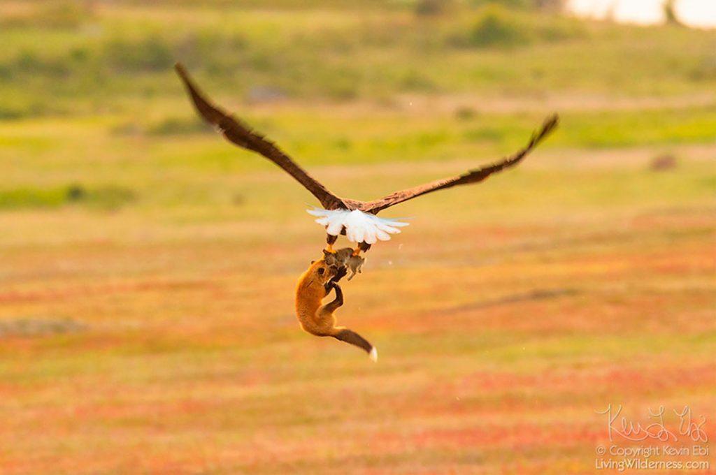 La increíble batalla entre un zorro y un águila por un conejo