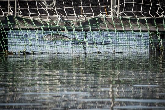 Greenpeace denuncia fuga de más de 800 mil salmones cargados con antibióticos