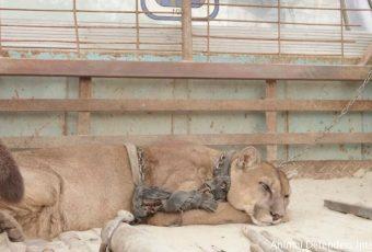 Puma de circo que vivió 20 años en una camioneta fue liberado