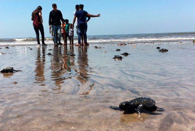 Tortugas vuelven después de 20 año a esta playa en India tras ser limpiada