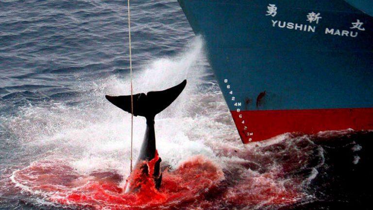 Japón y Noruega los principales cazadores de Ballenas: Tokio anuncia que comenzará nuevamente la matanza comercial de cetáceos