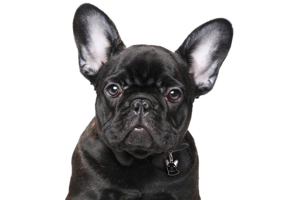 Bulldog Francés: cuerpo compacto y grandes problemas