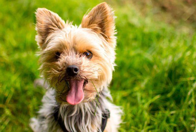 La diabetes, otra enfermedad que los perros padecen al igual que los humanos