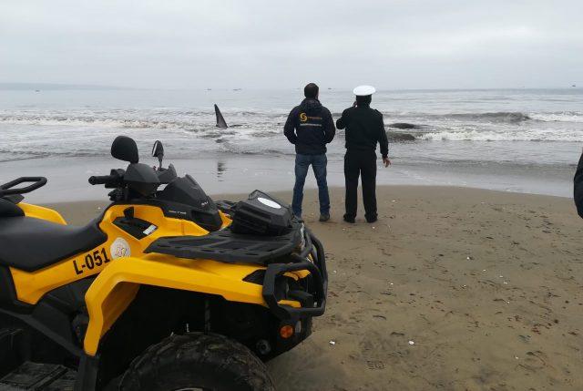 Armada trabaja en rescate de ballena varada en la playa grande de Tongoy