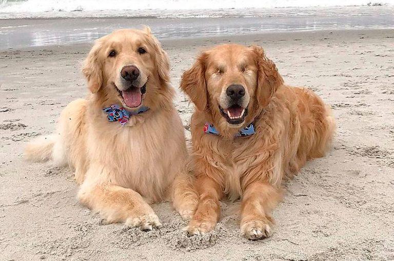 Linda amistad entre este golden retriever ciego y su perro guía