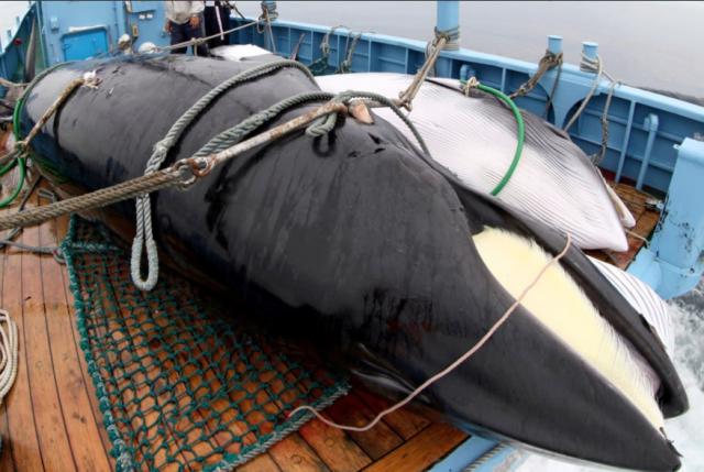 Diputados RN rechazan caza de ballenas por Japón y piden condenar a través de las RRSS