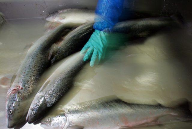 Chile demandará a salmonera noruega Nova Austral por falsificar reportes de sanidad