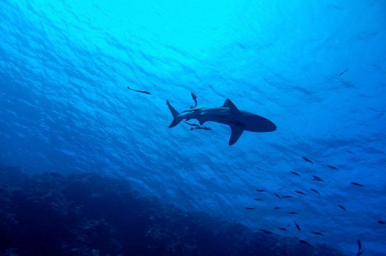 Este es el tiburón blanco más grande del mundo