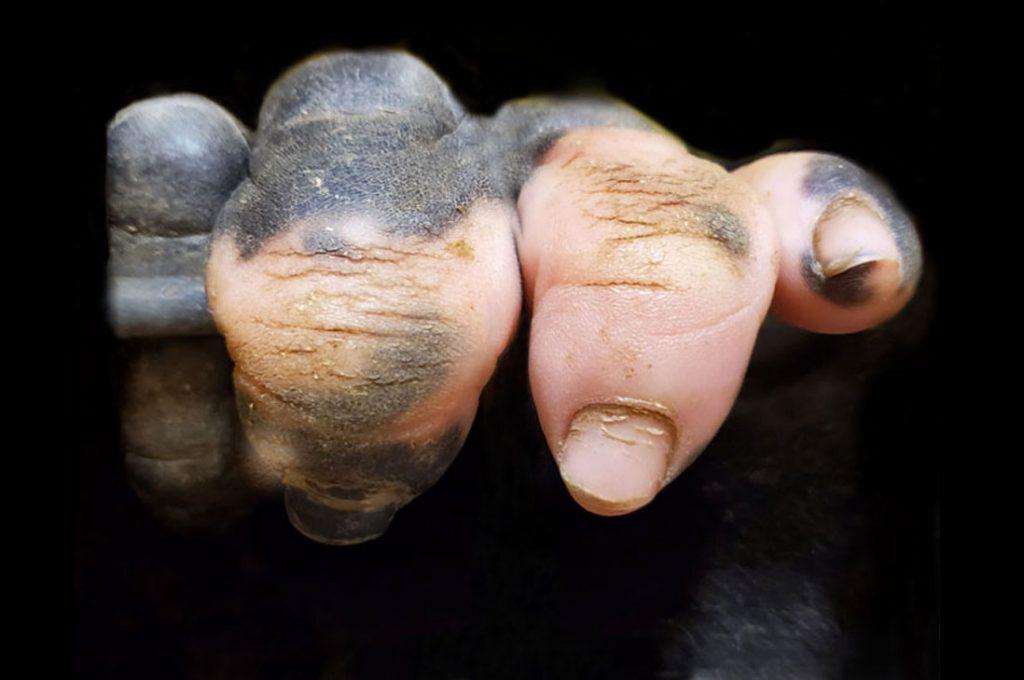 Gorila nació sin pigmentación en los dedos y sus rasgos son muy humanos
