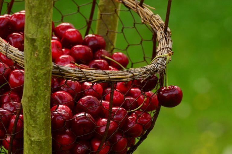 Cerezas se convierten en la estrella de la exportación este 2020