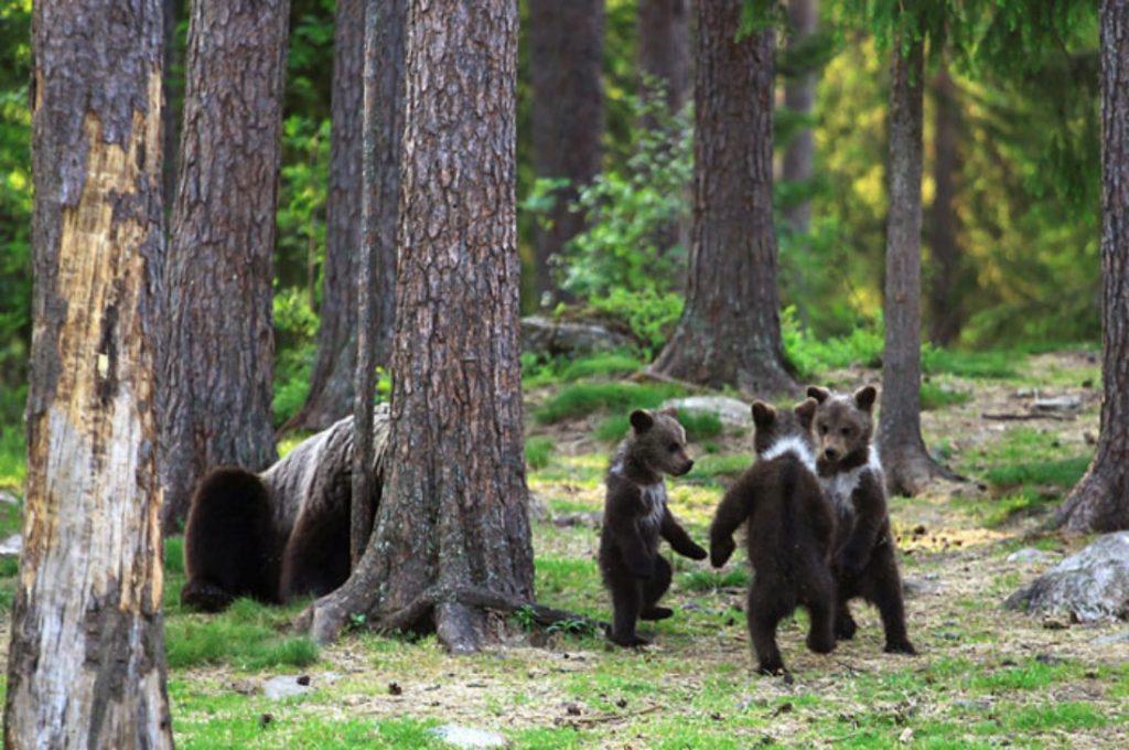 """Fotógrafo capta unos oseznos """"danzando"""" en los bosques de Finlandia"""
