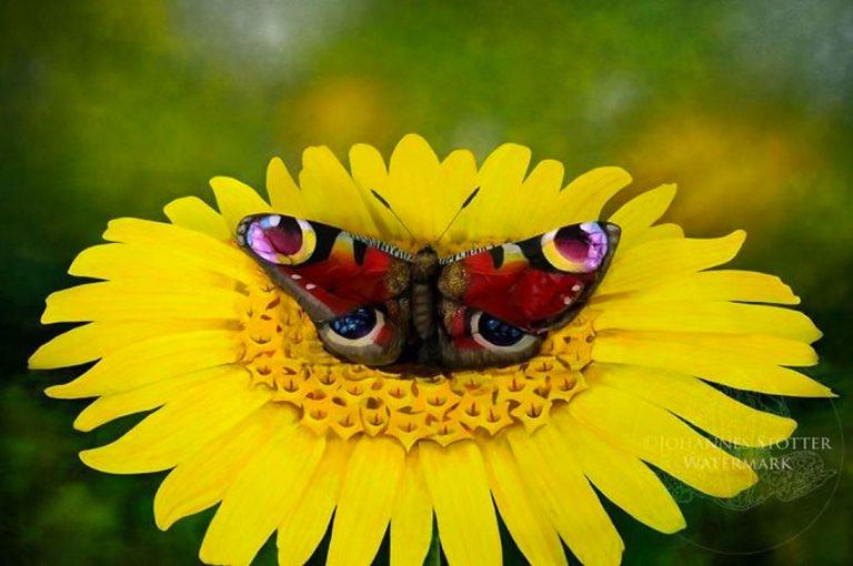 Ilusión óptica: ¿Puedes ver a la mujer escondida en esta mariposa?