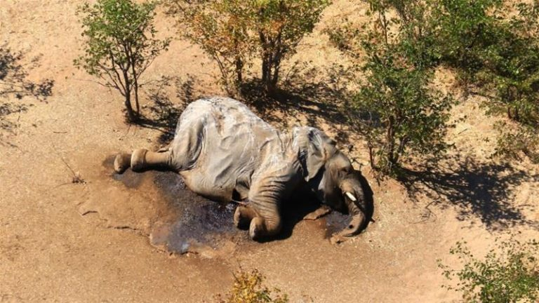 Dramática muerte de más de 300 elefantes en Botswana por contaminación el agua