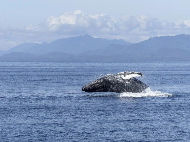 Calentamiento global está afectando gravemente a las Ballenas Jorobadas: Por falta de alimento nacen pocas crías