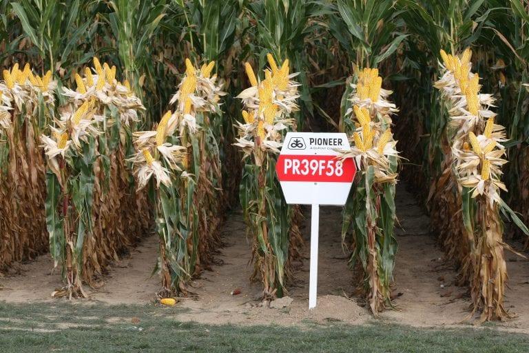 Comisión Europea autoriza la venta de ocho transgénicos de maíz y soja en la UE