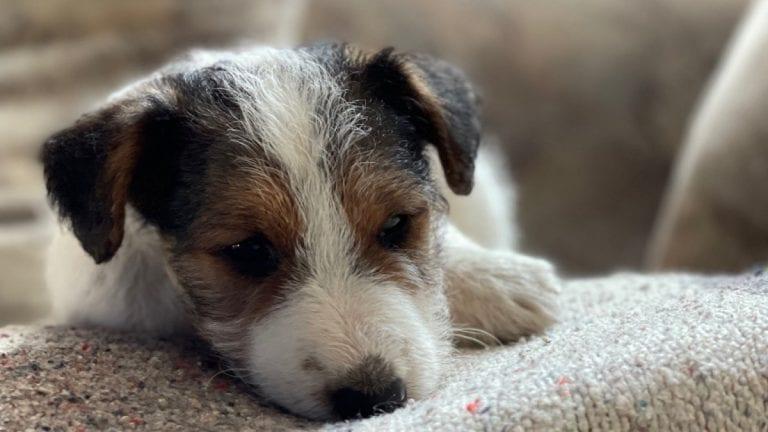 ¿Qué cantidad de comida debo dar a mi perro cachorro?