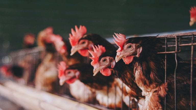 Comisión Europea determina que la producción animal en jaulas debe acabar en la UE