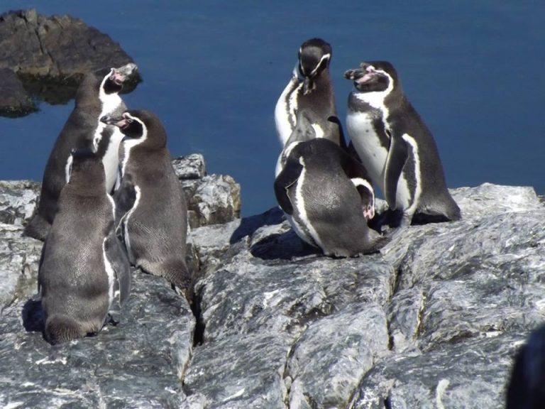 """En Alemania preocupados: """"Polémico proyecto minero portuario en Chile pone en riesgo al pingüino de Humboldt"""""""