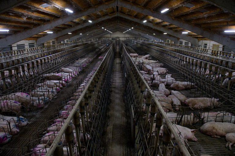 """La nueva alerta sanitaria: El otro virus que amenaza a China """"la fiebre porcina africana"""""""