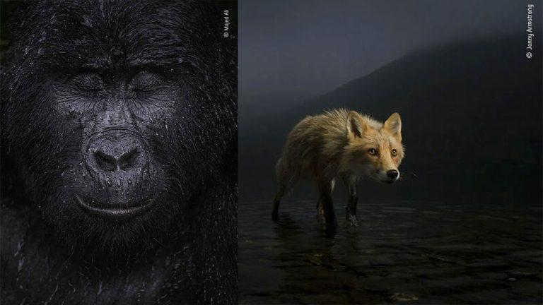 Espectaculares fotografías ganadoras del concurso Wildlife Photographer del año 2021